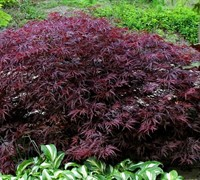 Red Dragon Japanese Maple
