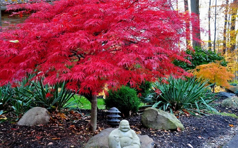 Red Dragon Japanese Maple Photo 2