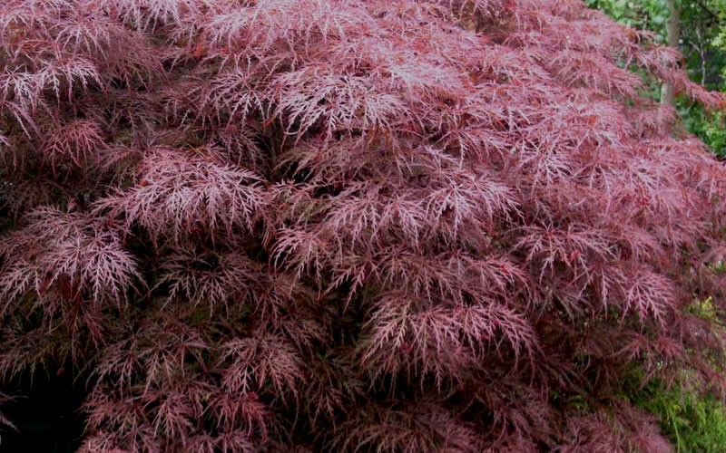 Red Dragon Japanese Maple Photo 5