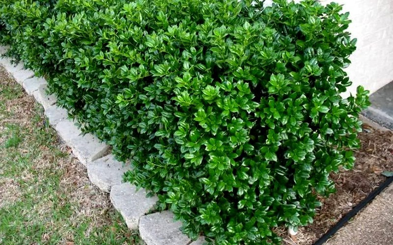 Dwarf Burfordi Holly Photo 3