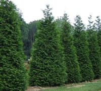 Shop Green Giant Arborvitae  - 2.5 Quart