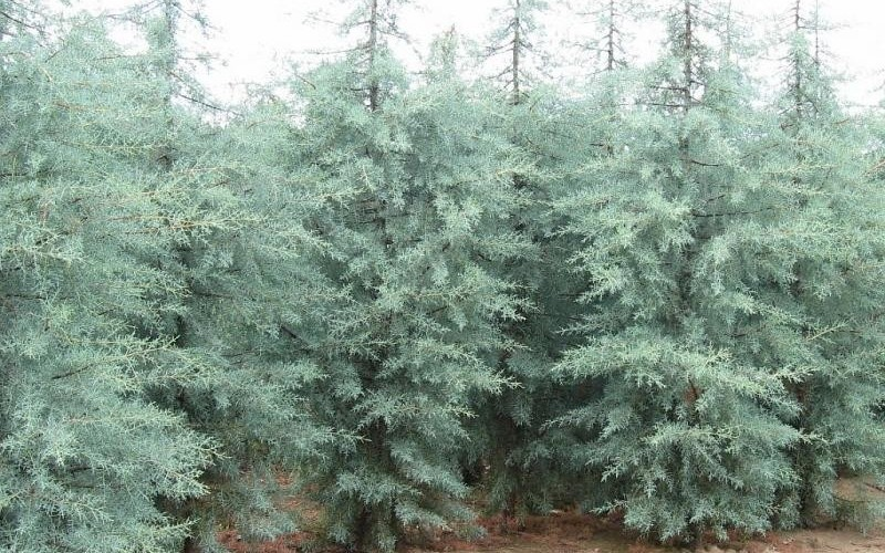 Blue Ice Cypress - 1 Gallon - Evergreen Trees | ToGoGarden