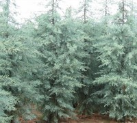 Shop Blue Ice Cypress - 1 Gallon