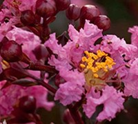 Shop Delta Jazz Crape Myrtle - 2 Gallon