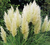 Shop White Pampas Grass - 3 Gallon