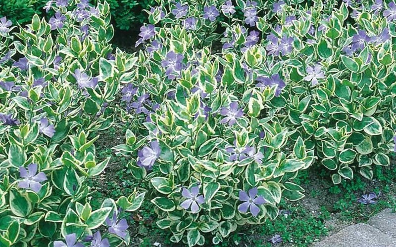 Variegated Bigleaf Periwinkle Photo 2