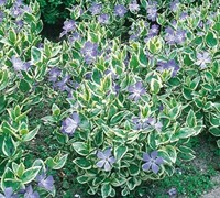 "Shop Variegated Bigleaf Periwinkle - 10 Count Flat of 4"" Pots"