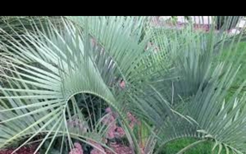 Pindo Palm / Jelly Palm - Butia capitata Photo 2