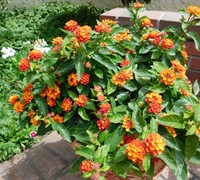 Shop Little Lucky Red Lantana - 2.5 Quart