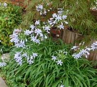 Lily of the Nile - Agapanthus africanus 'Peter Pan Blue'