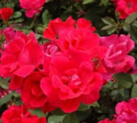 Shop Original Red Knock Out Rose - 1 Gallon