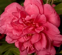 Alabama Beauty Camellia - Theaceae Camellia sasanqua 'Alabama Beauty'