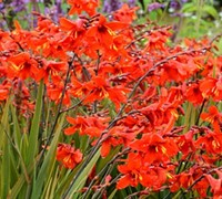 Twilight Fairy Crimson - Iridaceae Crocosmia X Crocosmiiflora