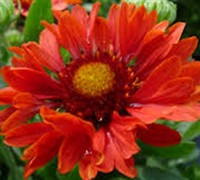 Shop Celebration Gaillardia - 2.5 Quart