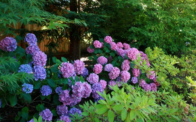 Dear Dolores Hydrangea - 2 Gallon - Hydrangea Shrubs | ToGoGarden