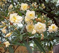 Shop Double Yellow Oleander - 3 Gallon