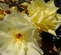 Double Yellow Oleander