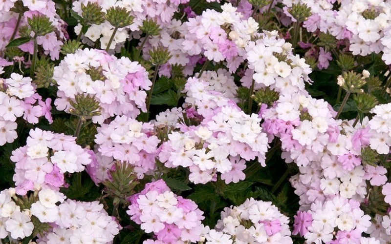 Endurascape White Verbena - 10 Count Flat of Quart Pots - Perennial Plants | ToGoGarden