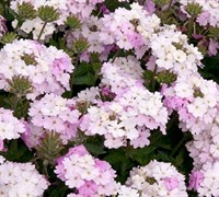Shop Endurascape White Verbena - 10 Count Flat of Quart Pots