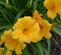 Shop Evergreen Stella Daylily - 2.5 Quart