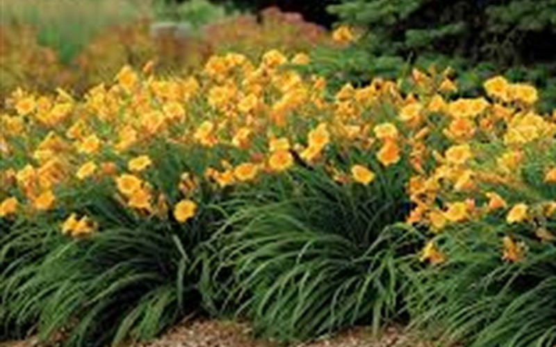 Evergreen Stella Daylily Photo 2