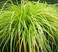 Shop Everillo Carex - 10 Count Flat of Quart Pots
