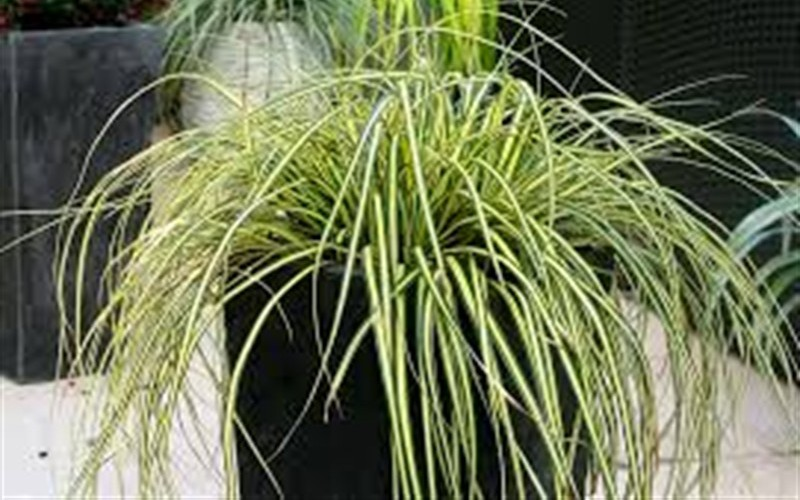 Everoro Carex - 2.5 Quart - Grasses - Ornamental | ToGoGarden
