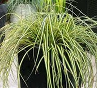 Everoro Carex