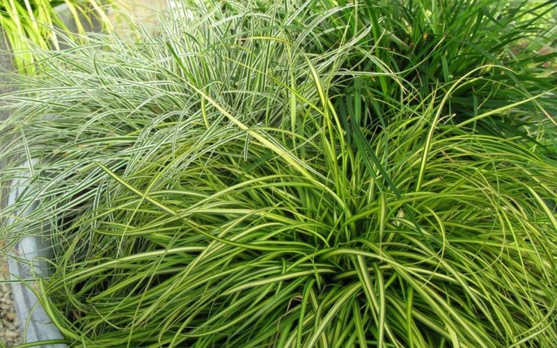 Eversheen Carex Photo 1