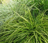 Eversheen Carex