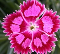 Shop Fire and Ice Dianthus - 2.5 Quart