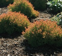 Shop Fire Chief Arborvitae - 3 Gallon