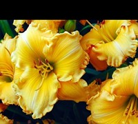 Joy of Living Celebration Daylily