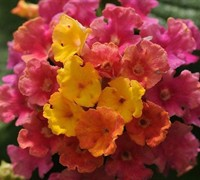 Shop Little Lucky Hot Pink Lantana - 2.5 Quart