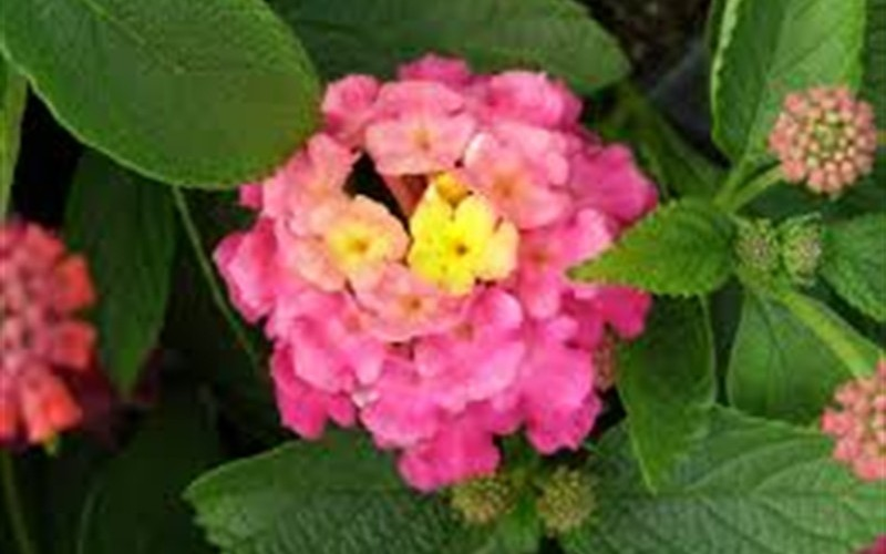 Little Lucky Hot Pink Lantana Photo 2