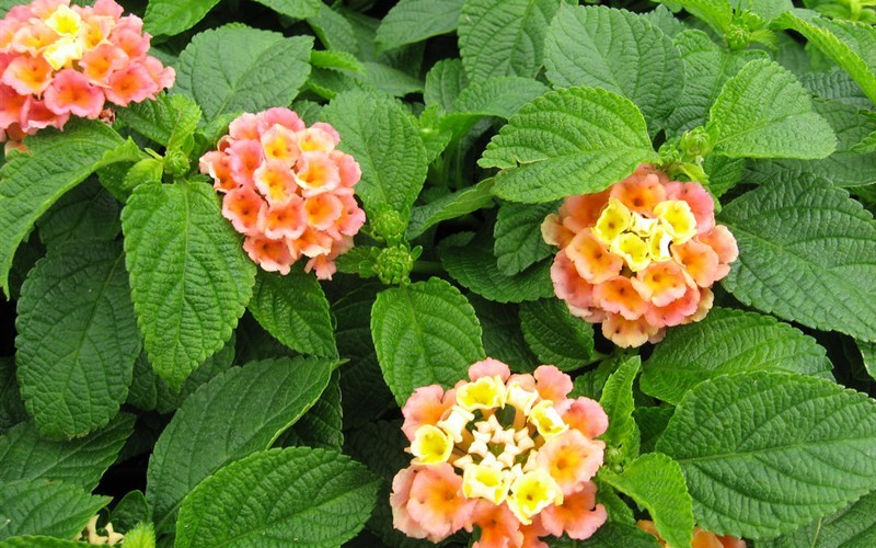 Little Lucky Peach Glow Lantana Photo 2
