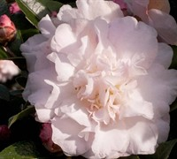 Shop October Magic Dawn Camellia - 2 Gallon