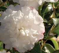 Shop October Magic Snow Camellia - 2.5 Quart