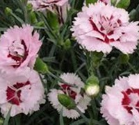Raspberry Surprise Dianthus