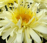 Shop Real Charmer Leucanthemum - 2.5 Quart