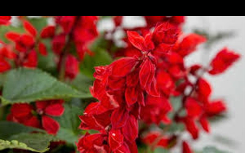 Saucy Red Salvia Photo 2