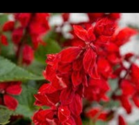 Saucy Red Salvia