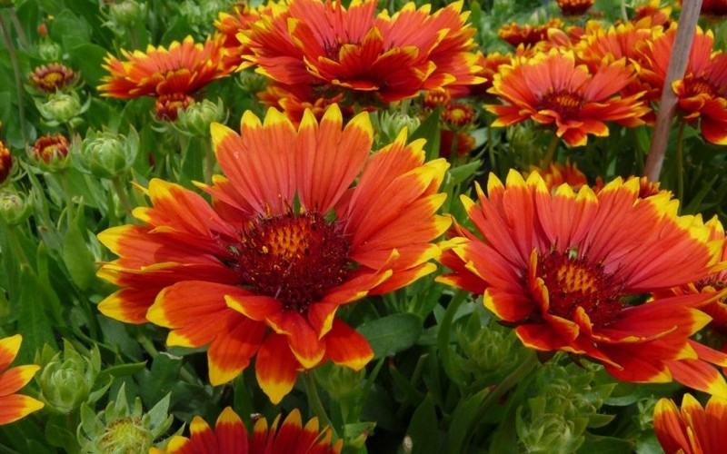 Sunset Flash Gaillardia - 2.5 Quart - Perennial Plants | ToGoGarden