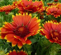 Shop Sunset Flash Gaillardia - 2.5 Quart