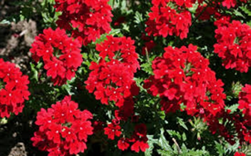 Endurascape Red Verbena - 1 Gallon - Verbena | ToGoGarden