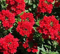 Shop Endurascape Red Verbena - 1 Gallon