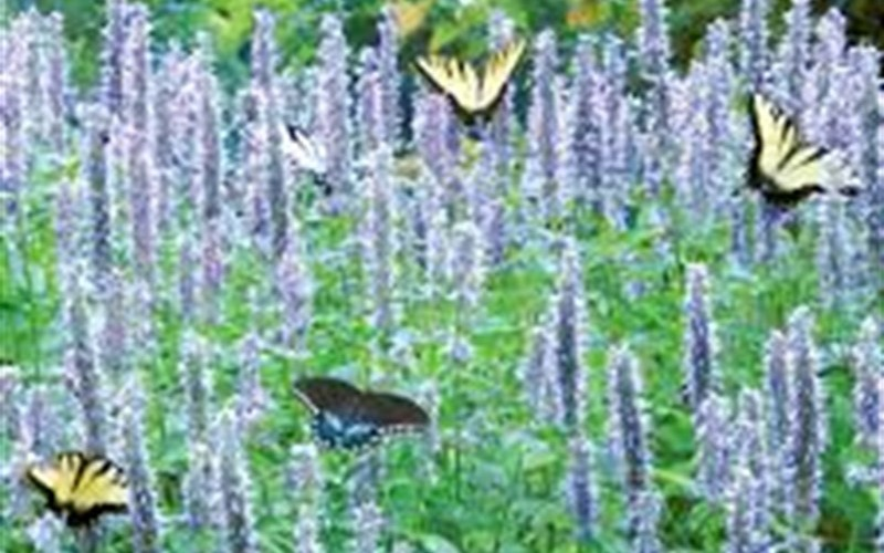 Blue Fortune Hyssop - 12 Count Flat of Pint Pots - Perennial Plants | ToGoGarden