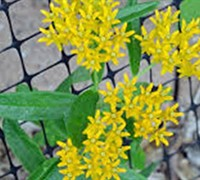 Shop Hello Yellow  Butterfly Weed - 1 Gallon