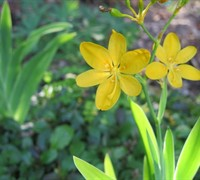 Shop Hello Yellow Blackberry Lily - 1 Gallon