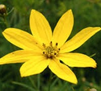 Shop Sylvester Coreopsis  - 3 Count Flat of Pint Pots